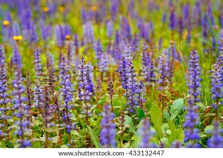 Purple flowers in a green field - stock photo