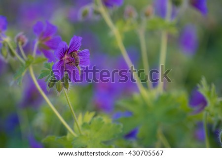 purple flowers with bee pollening are more beautiful. - stock photo