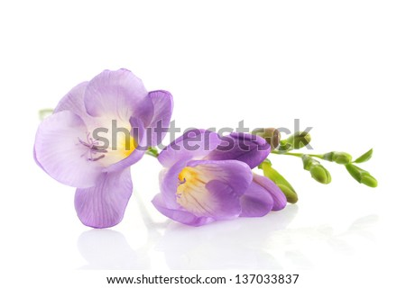 Purple freesia flower, isolated on white - stock photo