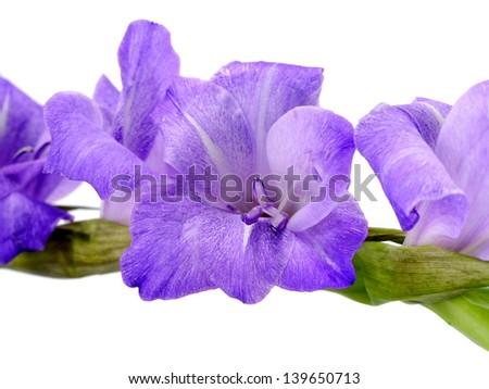Purple Gladiolus flowers on white background. (Gladiolus grandiflorus) - stock photo