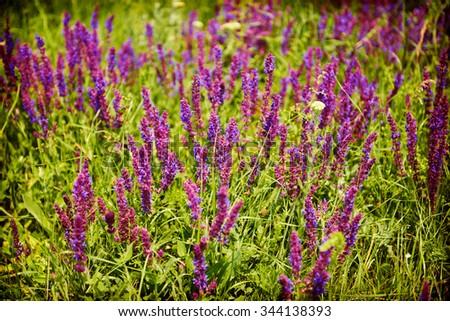Purple grass field natural background - stock photo