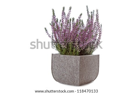 Purple Heather (Calluna vulgaris) flowers on white background - stock photo