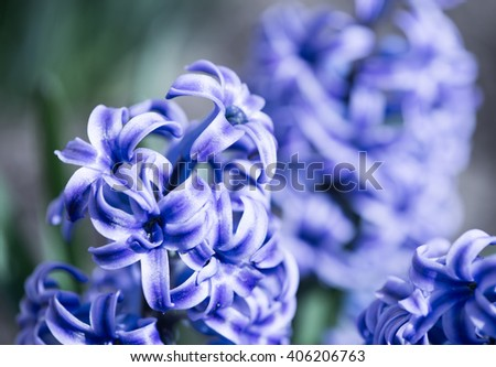 Purple hyacinth close up - stock photo