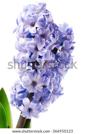 purple hyacinth flower close-up isolated on white background  - stock photo