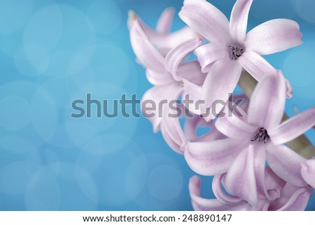 Purple hyacinth on blue background, macro photography - stock photo