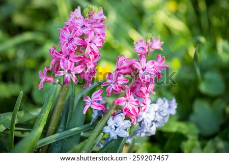 Purple hyacinths flowers in the spring garden. - stock photo