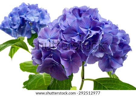 Purple hydrangea flower close-up isolated on white background.  - stock photo