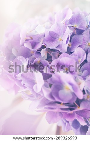 purple hydrangea flower with color effect and solf light - stock photo