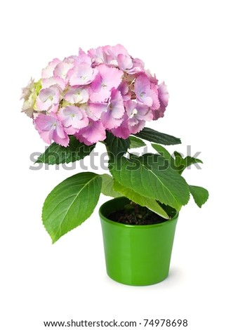 purple hydrangea in a green flower pot isolated on white. - stock photo