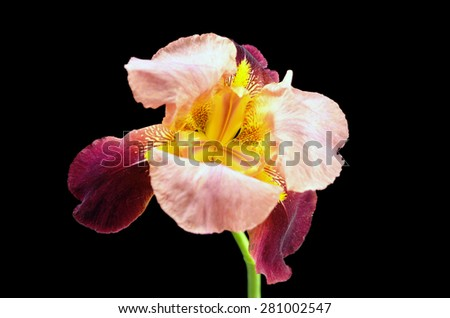 Purple Iris Flower - stock photo