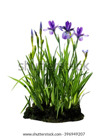 Purple iris flower plant isolated on white background - stock photo