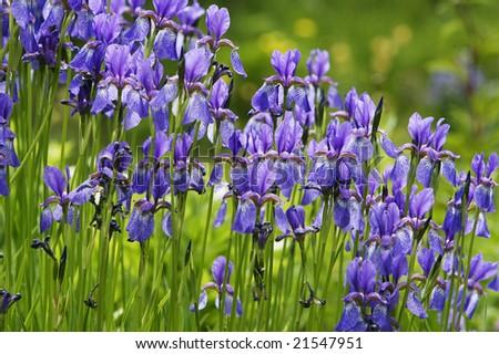 Purple Iris flowers - stock photo