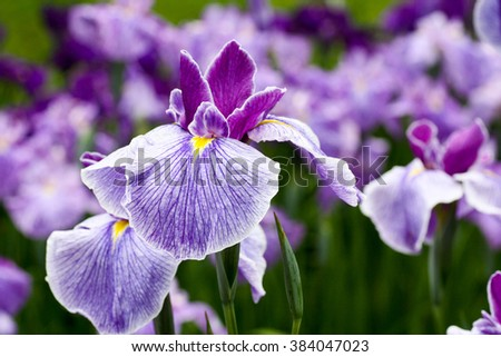 purple iris flowers - stock photo