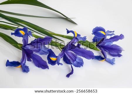 purple iris on a white background - stock photo