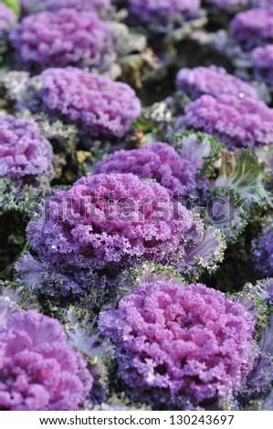 purple kale - stock photo