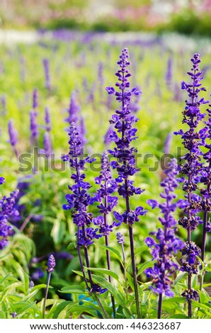 Purple lavender flower blooming in the fields - stock photo