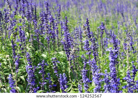 Purple lavender flower field - stock photo