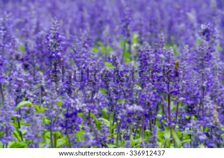 purple lavender flowers in the field,Filter blur - stock photo