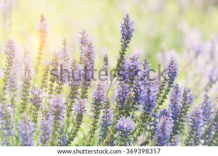purple lavender flowers in the field with retro style filter - stock photo
