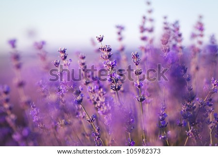 purple lavender flowers - Sunset over a summer lavender field . Bunch of scented flowers in the lavanda fields of the French Provence near Valensole - stock photo