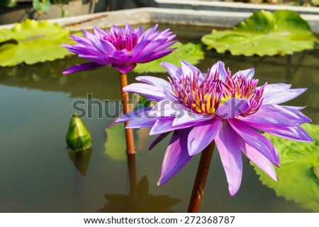 purple leaf lotus flower on water photo stock,water lily - stock photo