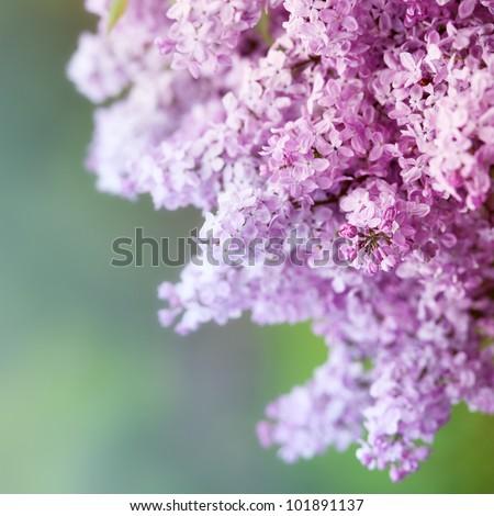 Purple Lilac - stock photo