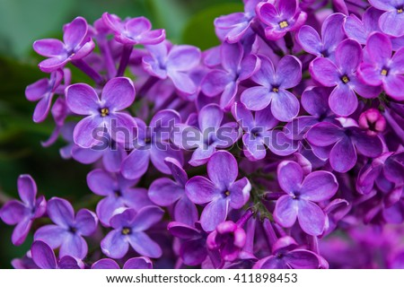 Purple lilac flowers. Macro photography. - stock photo