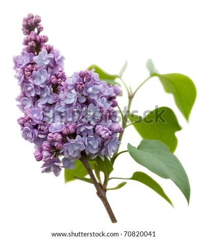 Purple Lilac flowers (Syringa vulgaris) isolated on white background. Shallow depth of field. - stock photo