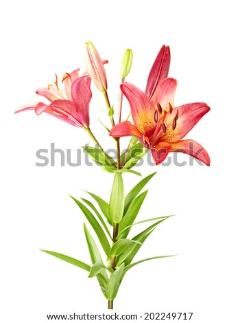 Purple lily isolated on white background - stock photo