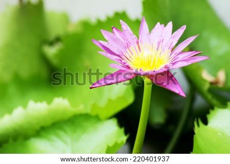 purple lotus  bloom in water park  - stock photo