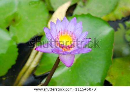 Purple lotus blooming - stock photo
