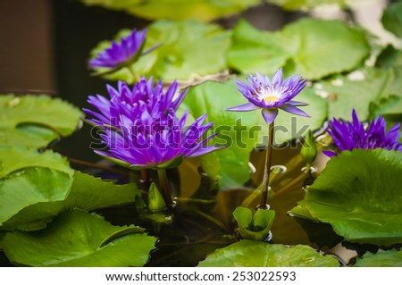 purple lotus blossoms in the water - stock photo