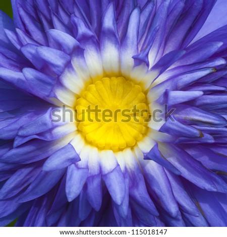 Purple lotus close up as texture - stock photo