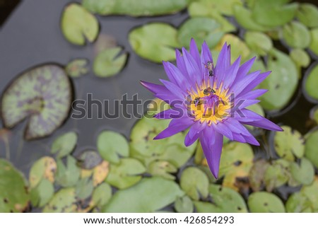 Purple Lotus. Colorful blooming purple water lily with bee is trying to keep nectar pollen from it. The view captured at a lotus pond in Thailand. Lotus flower in Asia is important culture symbol - stock photo