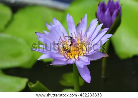 Purple lotus flower and bee  - stock photo