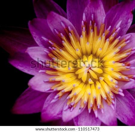 purple lotus in the dark, macro shot - stock photo