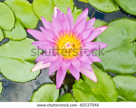purple lotus in water - stock photo
