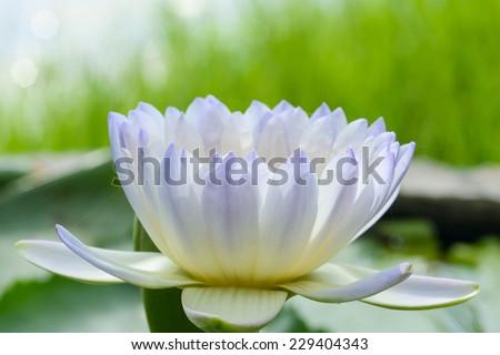 purple lotus on nature background - stock photo