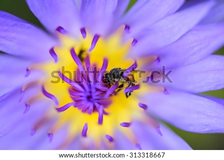 purple lotus yellow purple pollen flower with green leaf on water background - stock photo