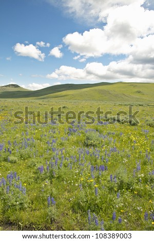 Purple lupine and mountains in Centennial Valley near Lakeview, Montana - stock photo