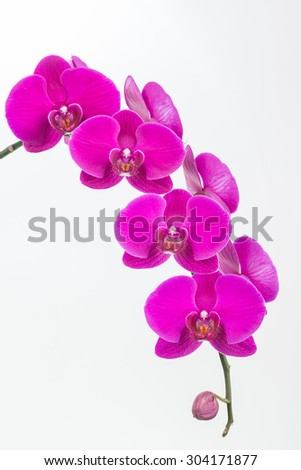 Purple Moth orchids and bud close up over white background - stock photo
