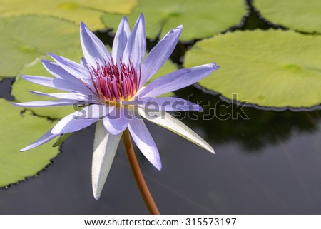 purple nymphaea water lily flower - stock photo