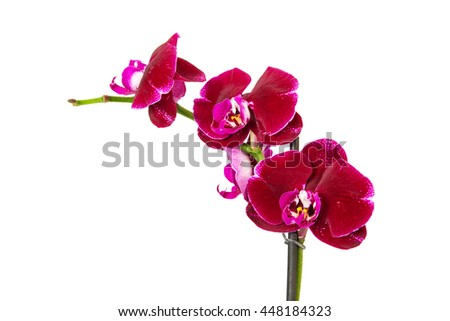 Purple orchid flower isolated on white background  - stock photo