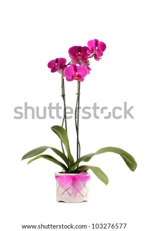 Purple Orchid plant in white pot with pink bow - stock photo