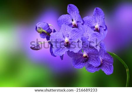 Purple orchid ,Vanda sansai blue - stock photo