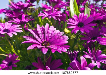 Purple osteopermum African daisies close-up. - stock photo