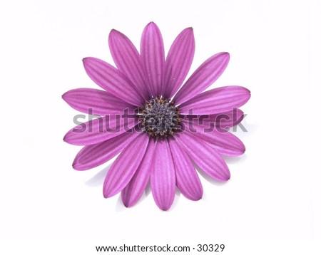 Purple Osteospermum ecklonis on white background. - stock photo
