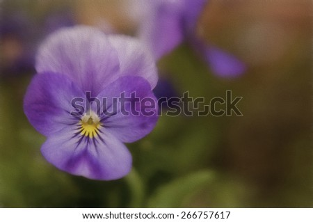 Purple Pansy Also Known as a Johnny Jump Up - stock photo