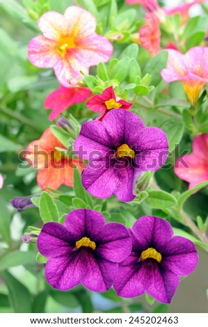 purple petunia flowers in the garden in Spring time  - stock photo