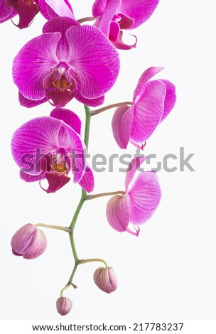 Purple Phalaenopsis orchids with buds close up  - stock photo